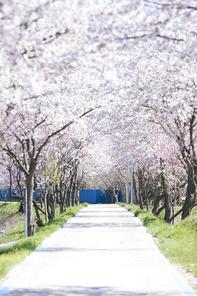 벚꽃세상 102