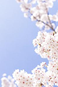 벚꽃세상 129