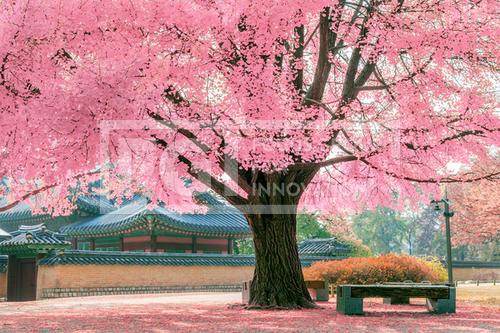 Pink tree.