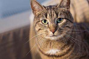 pets and domestic animal concept - portrait of tabby cat at home