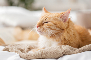 pets and hygge concept - red tabby cat sleeping on blanket at home in winter