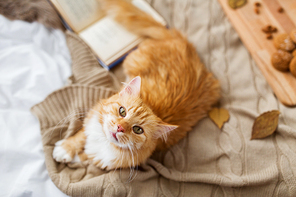 pets, hygge and domestic animal concept - red tabby cat lying on blanket at home in autumn