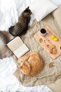 pets, hygge and domestic animal concept - two cats lying on blanket with book, lemon tea and oatmeal cookies at home in autumn