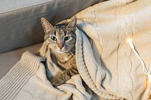pets and hygge concept - tabby cat lying on blanket at home in winter