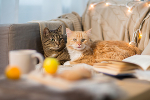 pets, hygge and christmas concept - two cats lying on sofa at home in winter