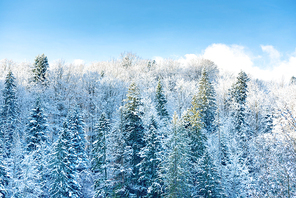 Winter sunny forest with pine trees in snow and blue sky