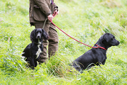 Woman with working gundogs; labrador and cocker spaniel