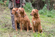 A woman with her three working gundogs; fox red labradors