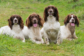 A portrait of four working springer spaniels on a shoot day