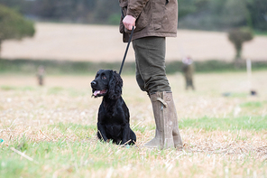 Working cocker spaniel out on a shoot day, in the line of guns