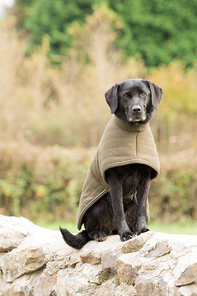 Working black labrador warming up at the end of the day in a green padded coat