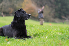 Woring black labrador waiting in the picking up line with a gun in the background
