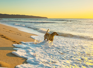 dog on beach in Hawaii island