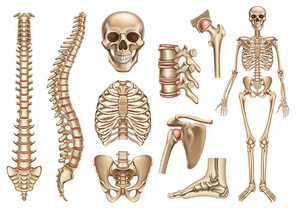 Human skeleton structure. Skull, spine, rib cage, pelvis, joints. Anatomy and medicine, 3d vector icon set
