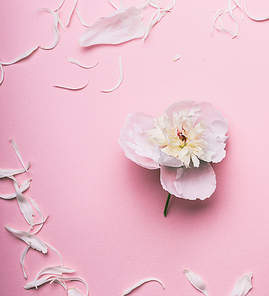 White flowers and petals on pastel pink background, top view
