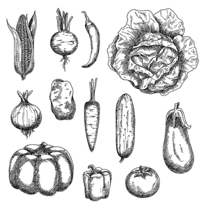Sketches of corn and tomato, potato and carrot, cabbage and onion, cucumber and beet, chilli and bell peppers, eggplant and pumpkin vegetables. For kitchen accessories, recipe book, agriculture design