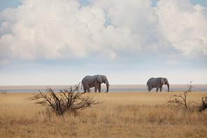 Elephants  in african  savannah. Travel adventure background.