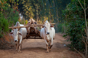 Two white oxen pulling wooden cart in Myanmar village