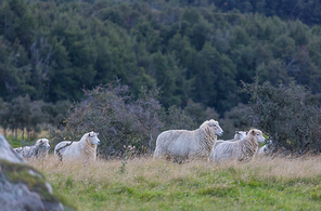 Sheeps in green mountain meadow, rural scene in New Zealand