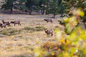 Mountain Bull Elk in autumn forest, Colorado, USA