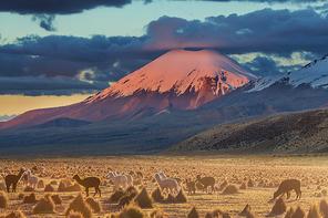 Llama in high mountains, Bolivia, South America
