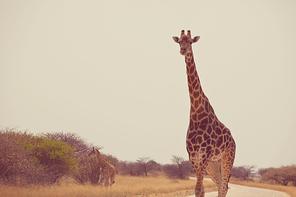 Wild giraffe in the african bush, Namibia