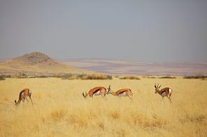 The springbok (Antidorcas marsupialis)  in the african bush, Namibia. Travel Africa safari