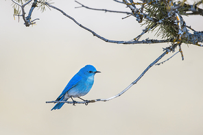 A male mountain bluebird is perched on a twig at Farragut State Park in north Idaho.