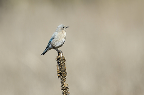 A female western bluebird is perched on a plant at Farragut State park in north Idaho.