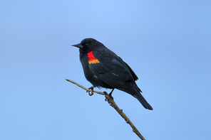 A red winged blackbird (Agelaius phoeniceus) perched on a twig in Hauser, Idaho.