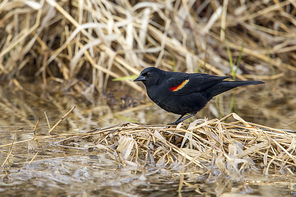 A red winged blackbird (Agelaius phoeniceus) in a marshy area in Hauser Lake, Idaho.