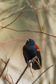A red winged blackbird (Agelaius phoeniceus) perched in a tree in Hauser, Idaho.