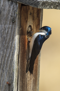 A cute little tree swallow (Tachycineta bicolor) perches on the side of a little bird house at Cougar Bay preserve in Coeur d'Alene, Idaho.