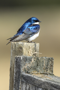 A cute little tree swallow (Tachycineta bicolor) perches on top of a post at Cougar Bay preserve in Coeur d'Alene, Idaho.