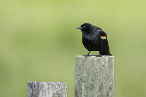 Red winged black bird is perched on a wooden post in Hauser, Idaho.