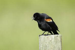 Red winged black bird is perched on a wooden post calling out in Hauser, Idaho.