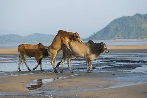 africa cow coastline boat pirague in the blue lagoon relax of zanzibar