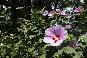 선혈의 혼이 밴 우리나라 무궁화 꽃