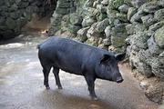 제주 흑돼지