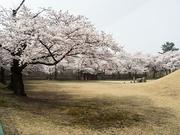 벚꽃이 핀 경주 미추왕릉