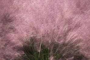 가을에 피어난 핑크뮬리