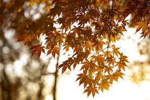 붉은 단풍잎