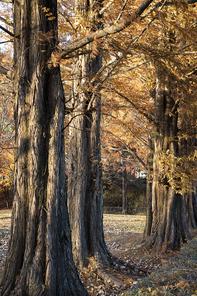 가을 햇살을 받고 있는 메타세콰이어 나무