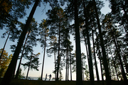 Silhouettes of amorous couple walking in park among pinetrees
