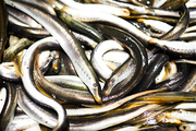 Wet long stripped fishes stacking together, seafood background can be used for topics like fishing and fresh food market