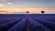 Sunset.,France.,scenery,lavender,provence,France,Provence,Valentine,You're in charge of the bug cover.,summertime,Flower.,farmlands,outdoors,color,crop,plant,beautiful sceneries,national,plentiful