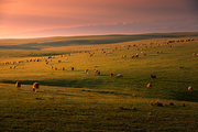 Of course.,scenery,color,I'm going to be on the screen.,Sunset.,Nature.,fen,outdoors,Livestock.,The sky.,lawn,Country.,dawn,At night.,rural area,livestock,pastoral song,sheep,Travel.,a group of