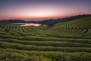 Sunrise.,scenery,wide angle,nikon,zhejiang,color,Mirror Mirror Season 06 Episode 06,vineyard,rural area,Nature.,crop,xiaoshan,climbing plant,farmlands,wine,beautiful sceneries,Country.,national,outdoors,plant