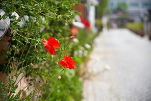 한옥 담장과 양귀비 꽃, 봄꽃, 봄