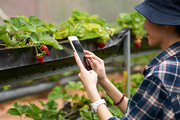 Profile view of proud young farmer wearing checked shirt and bucket hat taking picture of appetizing fresh strawberries growing at modern greenhouse